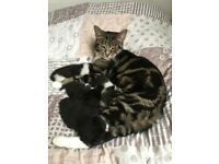 4 Beautiful Kittens For Sale, Tabby Mother