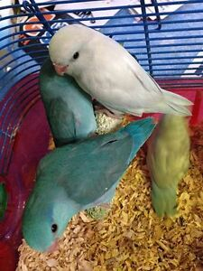 HAND FED HAND TAME PARROTLET BABIES London Ontario image 3