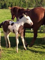 LOOKING FOR A RESCUE FOAL!