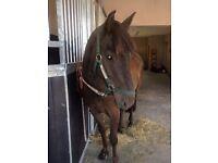 Pony 14.2h Gelding 8yo Lovely nature