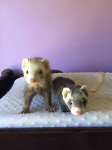2 ferrets plus ferret nation cage