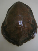 Large Tortoise Shell (Pre-1973) from Dominican Republic