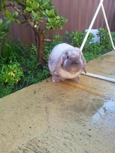 pure mini lop Fairfield Fairfield Area Preview