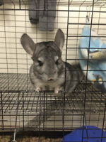 Chinchilla w/ cage and Setup for sale