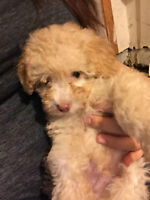 ♥TOY POODLE PUPPY ♥