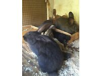 Continental giant rabbits