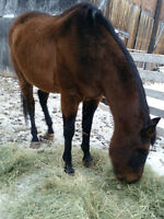 Senior Thoroughbred Gelding looking for the right rider