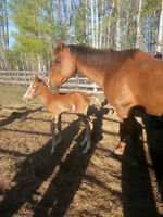Well broke mare with filly for sale