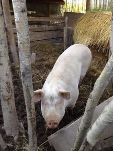 Breeding sow for sale landrance Yorkshire cross.