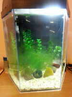 5.5 gallon hex tank with guppies and snails