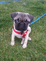Looking for female pug puppy