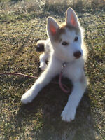 Siberian Husky Puppy - Looking for a Good Home