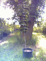 Potted Trees and Shrubs For Sale