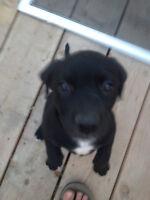****Mastiff X Collie