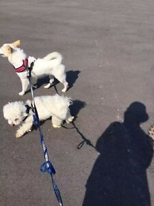 Pure Maltese & Bichon puppies! Avail after Dec 1st to new home! London Ontario image 2