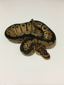 2016 Ball Pythons!! Weekend Sale!!