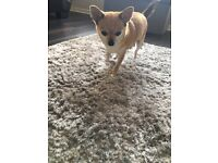 2 male chihuahua puppy's
