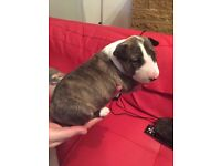 English bull terriers puppy's for sale KC reg