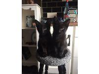 Two black kittens