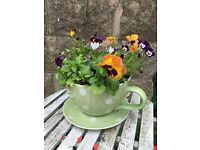 Jumbo Cup & Saucer Planter - Free delivery Stoke on Trent