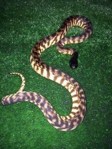Black Headed Python Mentone Kingston Area Preview