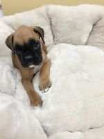 Boxer~Boxer puppies for sale-only one girl left
