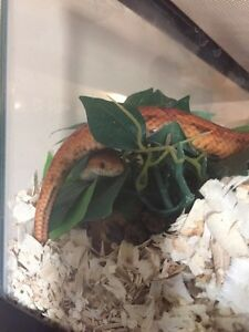 Corn Snake w/EVERYTHING