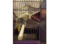 Yellow face hand tame baby budgie
