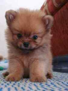 Looking for Pomeranian puppy