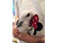 English butterfly bunny rabbits