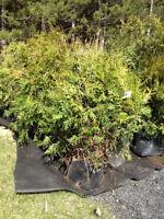 Très Beau Cèdre à haies cultivés 3'-4'