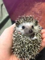 Female baby hedgehog