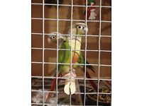 2015 Male and Female conure pair