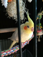 Cockatiel, female with big cage and food