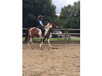 8 year old , 13.2 show and games pony