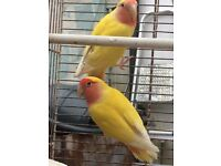 Pair of lutino peach faced lovebird