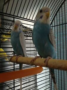 Budgie Birds For SALE!!