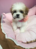 Tiny size@sweet Malshi puppy for sale~only one female left