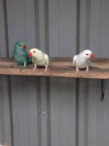 Indian Ringneck Parrots Dapto Wollongong Area Preview
