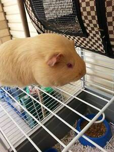 7 Month Old Female Guinea Pig Woodside Adelaide Hills Preview