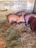 16 week old gilts for sale!