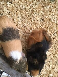 Three adorable/friendly female guinea pigs+cage
