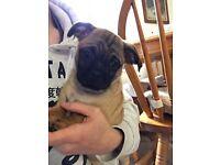 Pug cross jack Russel