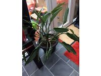 Birds of paradise plants 6 year old (52 inches across 33 inches height from top of pot