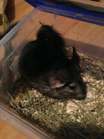 Selling 2 Chinchillas Together (included cage and bathroom)