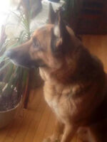 Free to Good Home - 5yr old male German Shepherd