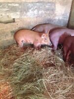 16 week old gilts for sale