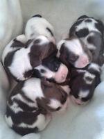 CKC Registered Parti Colored American Cocker Spaniel Puppies