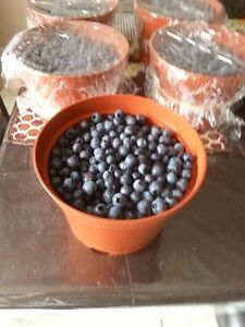 FRESH NL PICKED BLUEBERRIES $10 A POT