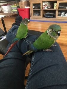 Two conures